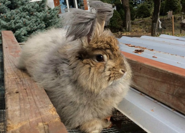 Caring for Angora Rabbits