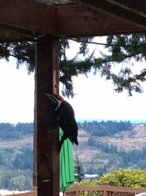 Pleated Woodpecker
