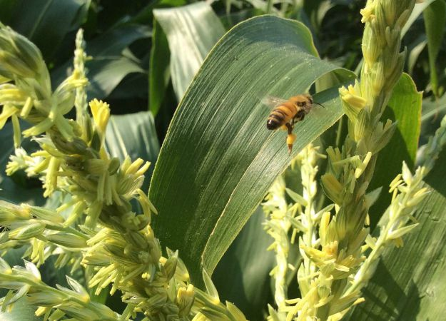 Honey Bee Pollenating The Corn