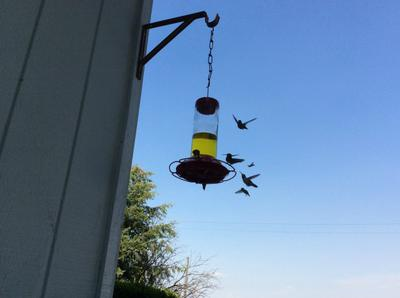 Our hummingbird visitors