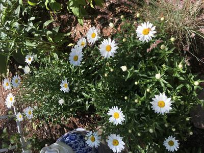 The Shasta Daisies