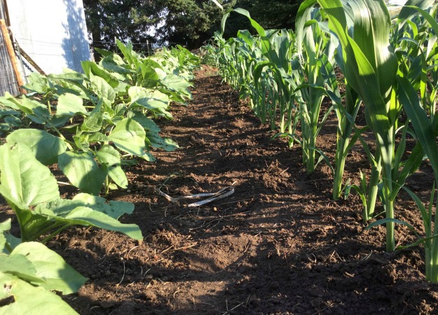 Corn And Sunflower Rows