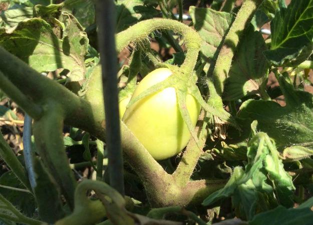 Young Green Tomatoe.